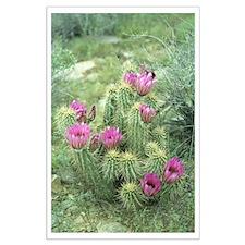 Pink Cactus Desert Large Poster