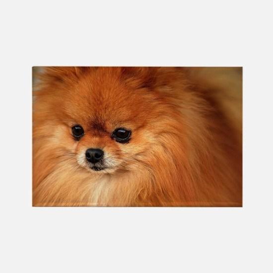 Cute Pomeranian lover Rectangle Magnet