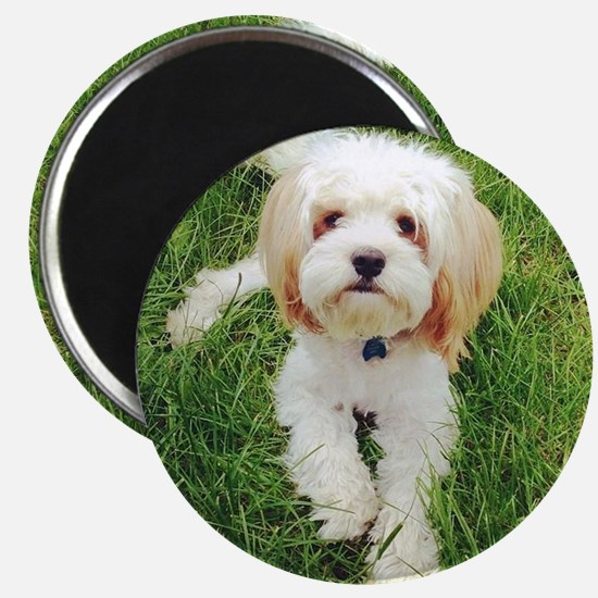 Barney the Cavachon on the grass Magnet