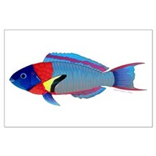 Saddle Wrasse Posters