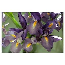 Cascade Purple Iris Flower Photo Posters