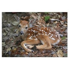 White-tailed Deer Fawn Wall Art Framed Print