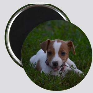 Jack Russell Puppy Magnets