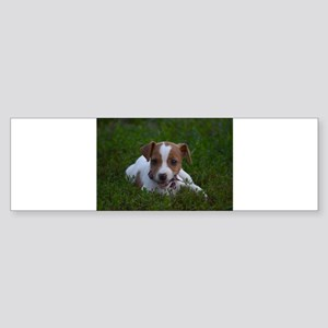 Jack Russell Puppy Bumper Sticker