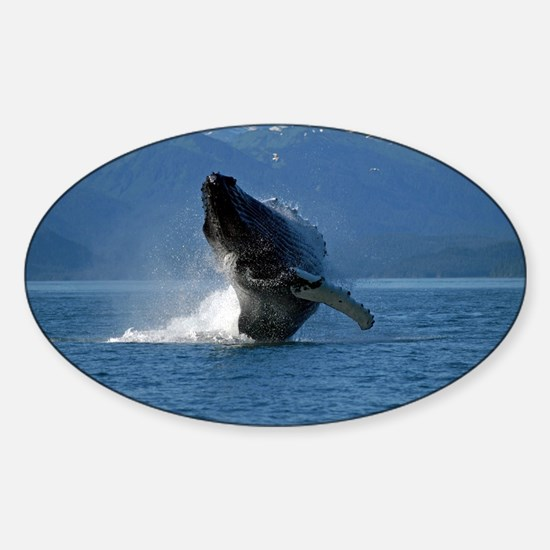 Humpback Whale Breaching Alaska Sticker (Oval)