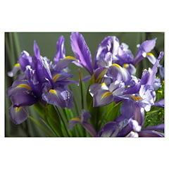 Twirl Purple Iris Flower Photo Posters