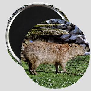 Capybara with Rocks Magnet