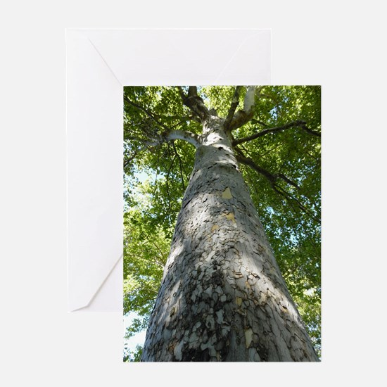Sycamore Tree Greeting Cards