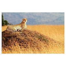 Masai Mara Cheetah Poster