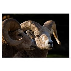 Bighorn Sheep, Waterton National Park, Alberta, Ca Poster