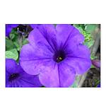 Purple Petunias Postcards (Package of 8)
