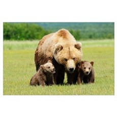 A Brown Grizzly Bear With Cubs; Alaska, United Sta Poster
