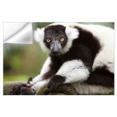 A Black-And-White Ruffed Lemur At The Singapore Zo Wall Decal