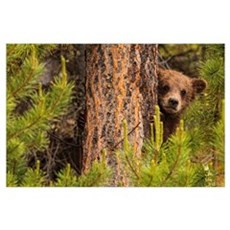 Grizzly Bear Cub Up A Tree, Yukon, Canada Poster