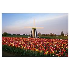 Tulip Field And Windmill, Oregon, USA Poster