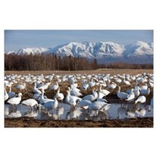 Flock Of Snow Geese Drinking From A Pond In The Ma Poster