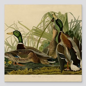 Audubon Mallard duck Bird Vintage Print Square Car