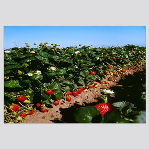 Looking down a row of strawberry plants