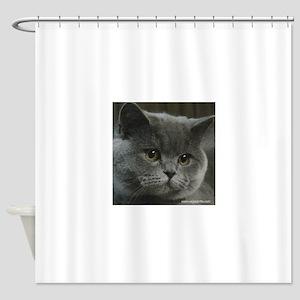 Blue British Shorthair cat Shower Curtain