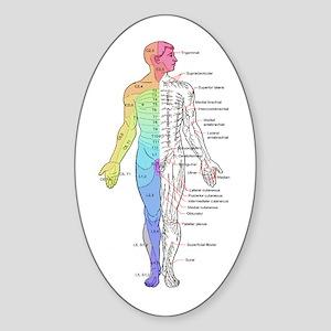 Human Anatomy Dermatomes and Cutane Sticker (Oval)