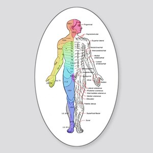 Human anatomy chart tile coaster926594449 oval stickers cafepress human anatomy dermatomes and cutane sticker oval publicscrutiny Image collections