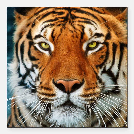 """Tiger in Water Photograp Square Car Magnet 3"""" x 3"""""""