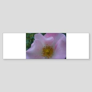 Full Bloom Pink Rose I Bumper Sticker