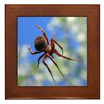 Red Thin Leg Wolf Spider on Web in blue Framed Til
