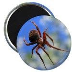 Red Thin Leg Wolf Spider on Web in blue Magnets