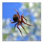 Red Thin Leg Wolf Spider on Web in blue Square Car