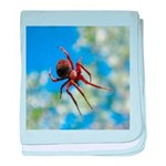 Red Thin Leg Wolf Spider on Web in blue baby blank
