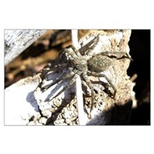 Furry Wolf Spider on Rocks Posters