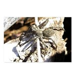 Furry Wolf Spider on Rocks Postcards (Package of 8