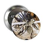 Furry Wolf Spider on Rocks 2.25