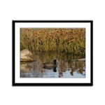 Coot On Pond Framed Panel Print