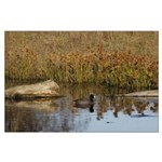 Coot On Pond Posters Large Poster