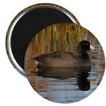 Coot on Pond Magnets