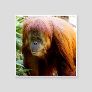 Orangutan Photo Sticker