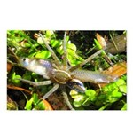 6 Spotted Fishing Spider v Mosquitofish Postcards