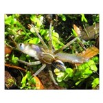 6 Spotted Fishing Spider v Mosquitofish Posters