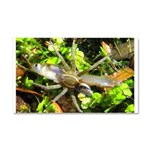 6 Spotted Fishing Spider v Mosquitofish Car Magnet
