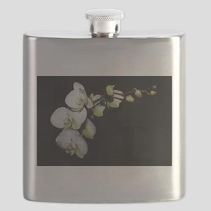 Phalaenopsis 1 Flask