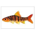 African Banded Barb Posters