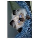 """Blue-Eyed Himalayan Kitten BIG 35""""x23"""" Poster"""