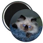 Blue-Eyed Himalayan Kitten Magnet