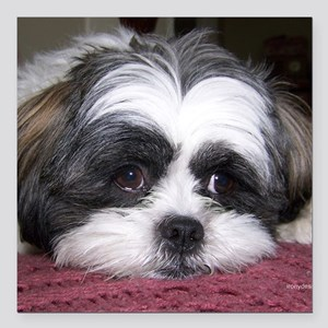 "Shih Tzu Dog Photo Image Square Car Magnet 3"" x 3"""