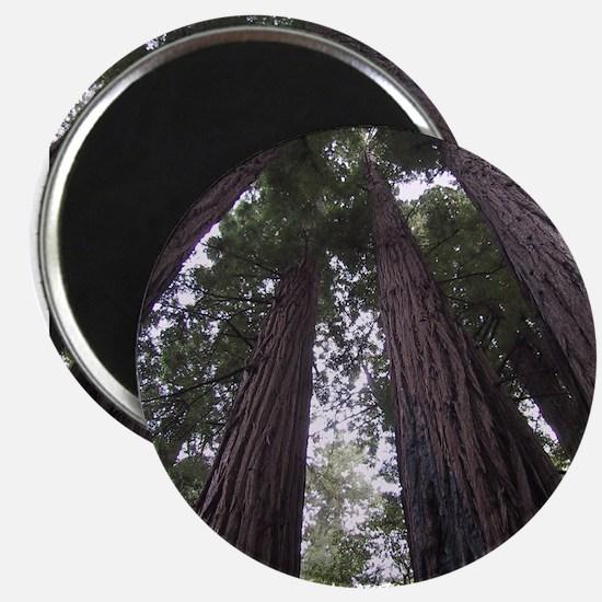 Cool Redwoods california Magnet