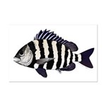 Sheepshead porgy Posters