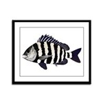 Sheepshead porgy Framed Panel Print