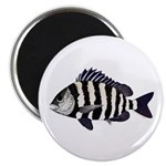 Sheepshead porgy Magnets